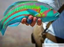 rainbow wrasse