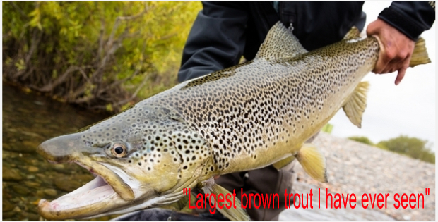Largest brown trout
